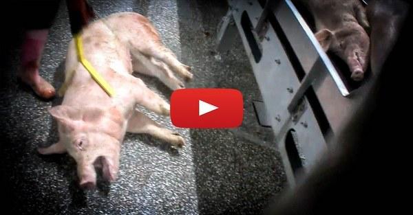 https://www.animalrights.nl/slachters-tielt-eindelijk-voor-de-rechter